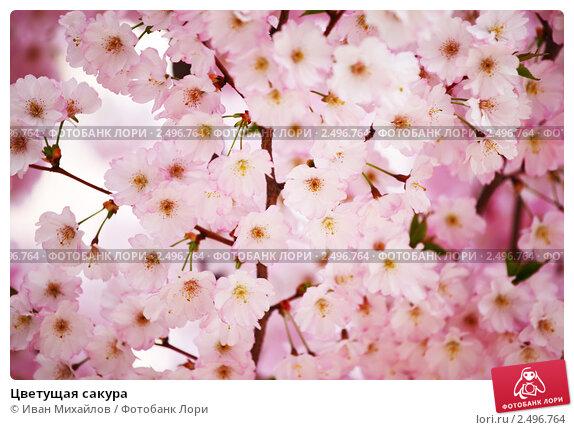 Купить «Цветущая сакура», фото № 2496764, снято 7 апреля 2010 г. (c) Иван Михайлов / Фотобанк Лори