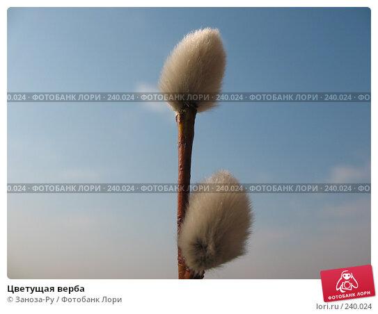 Купить «Цветущая верба», фото № 240024, снято 31 марта 2008 г. (c) Заноза-Ру / Фотобанк Лори