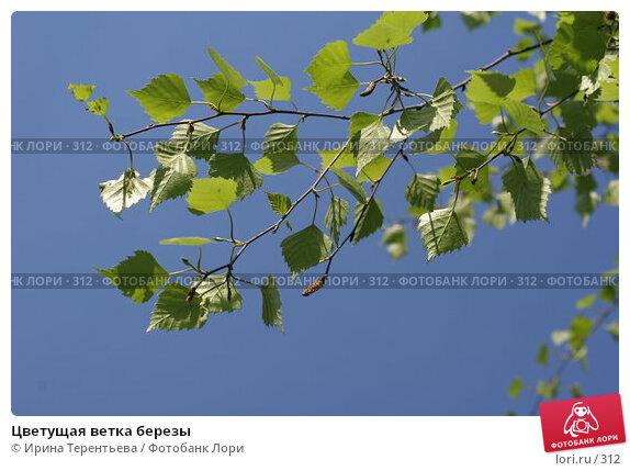 Цветущая ветка березы, эксклюзивное фото № 312, снято 15 мая 2005 г. (c) Ирина Терентьева / Фотобанк Лори