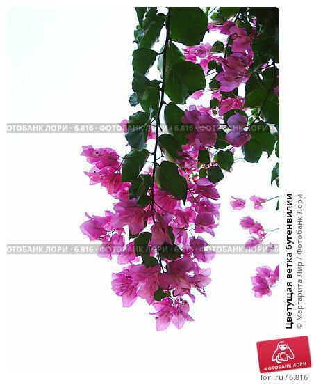 Цветущая ветка бугенвилии, фото № 6816, снято 24 октября 2016 г. (c) Маргарита Лир / Фотобанк Лори