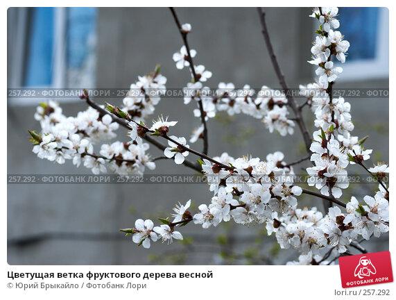 Купить «Цветущая ветка фруктового дерева весной», фото № 257292, снято 12 апреля 2008 г. (c) Юрий Брыкайло / Фотобанк Лори