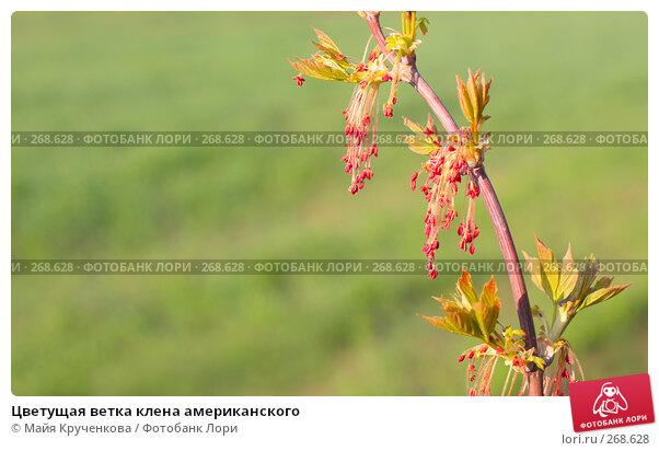 Цветущая ветка клена американского, эксклюзивное фото № 268628, снято 27 апреля 2008 г. (c) Майя Крученкова / Фотобанк Лори