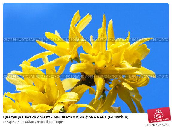 Цветущая ветка с желтыми цветами на фоне неба (Forsythia), фото № 257244, снято 11 апреля 2008 г. (c) Юрий Брыкайло / Фотобанк Лори