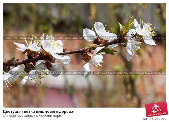 Цветущая ветка вишневого дерева, фото № 257272, снято 12 апреля 2008 г. (c) Юрий Брыкайло / Фотобанк Лори