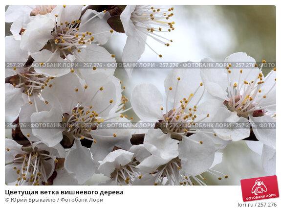 Цветущая ветка вишневого дерева, фото № 257276, снято 12 апреля 2008 г. (c) Юрий Брыкайло / Фотобанк Лори