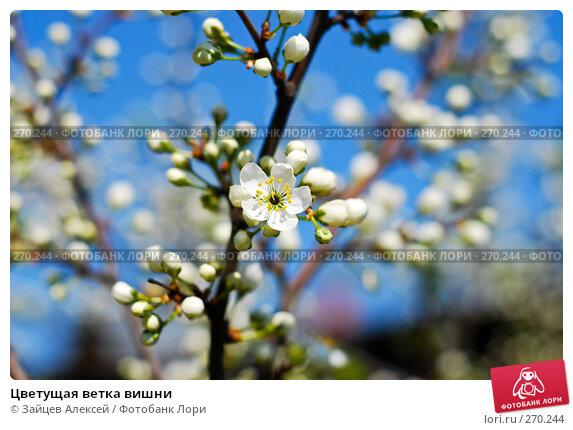 Цветущая ветка вишни, фото № 270244, снято 3 мая 2008 г. (c) Зайцев Алексей / Фотобанк Лори