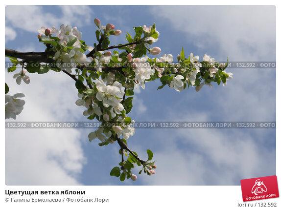 Купить «Цветущая ветка яблони», фото № 132592, снято 27 мая 2007 г. (c) Галина Ермолаева / Фотобанк Лори