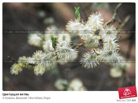 Купить «Цветущая ветвь», фото № 131468, снято 29 апреля 2007 г. (c) Коваль Василий / Фотобанк Лори