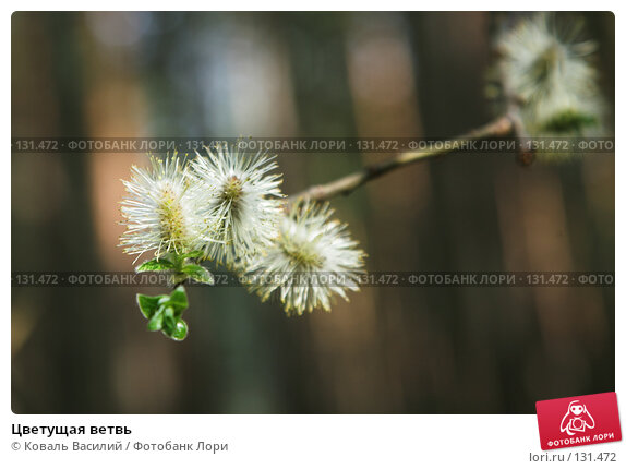Цветущая ветвь, фото № 131472, снято 29 апреля 2007 г. (c) Коваль Василий / Фотобанк Лори