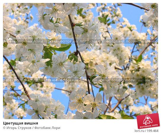 Цветущая вишня, фото № 199464, снято 25 апреля 2005 г. (c) Игорь Струков / Фотобанк Лори