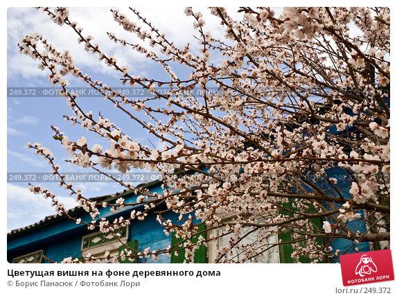 Купить «Цветущая вишня на фоне деревянного дома», фото № 249372, снято 11 апреля 2008 г. (c) Борис Панасюк / Фотобанк Лори