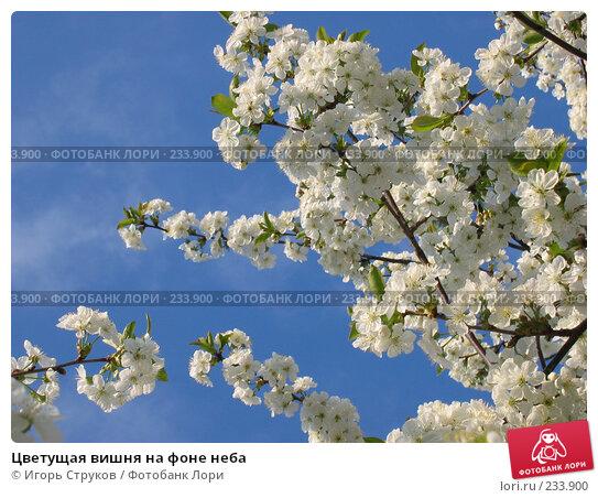 Цветущая вишня на фоне неба, фото № 233900, снято 26 апреля 2005 г. (c) Игорь Струков / Фотобанк Лори