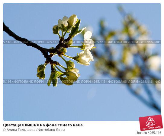 Цветущая вишня на фоне синего неба, эксклюзивное фото № 265116, снято 27 апреля 2008 г. (c) Алина Голышева / Фотобанк Лори