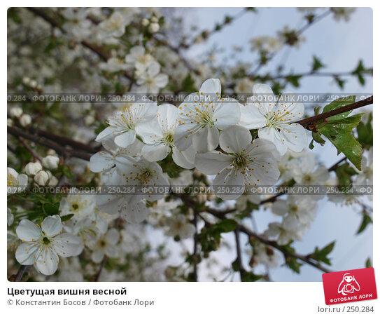 Цветущая вишня весной, фото № 250284, снято 25 мая 2017 г. (c) Константин Босов / Фотобанк Лори