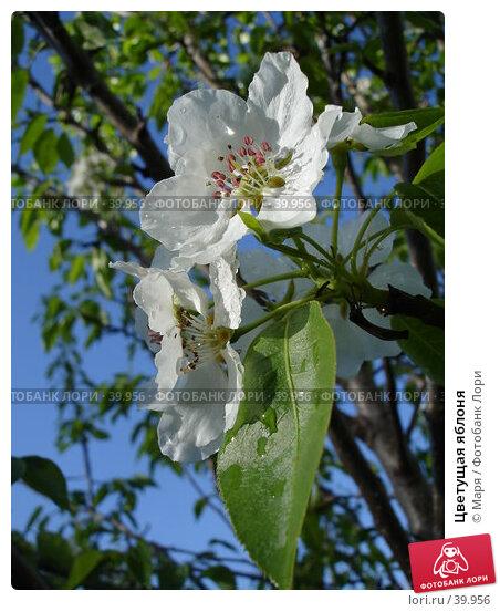 Цветущая яблоня, фото № 39956, снято 5 мая 2007 г. (c) Маря / Фотобанк Лори