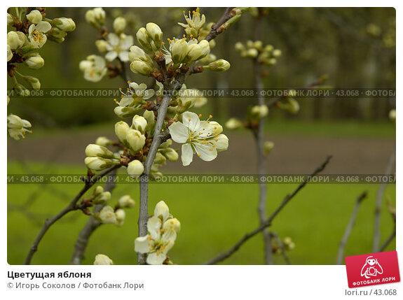 Цветущая яблоня, фото № 43068, снято 23 октября 2016 г. (c) Игорь Соколов / Фотобанк Лори