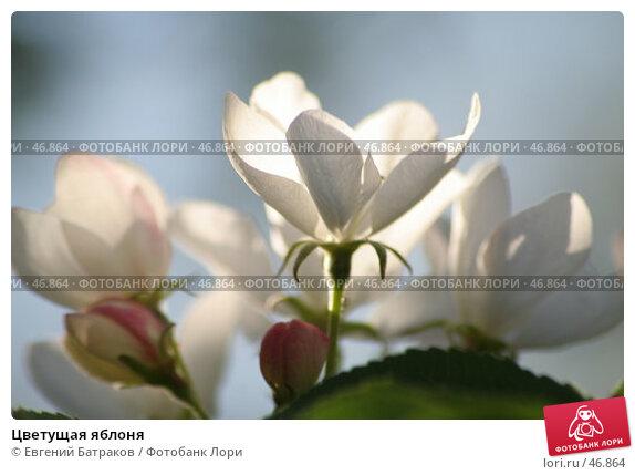 Цветущая яблоня, фото № 46864, снято 18 мая 2007 г. (c) Евгений Батраков / Фотобанк Лори