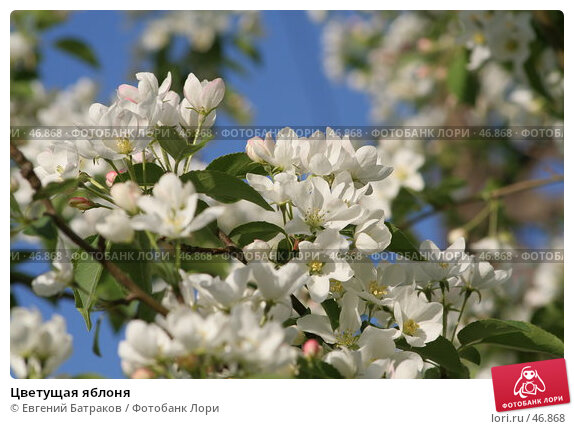 Цветущая яблоня, фото № 46868, снято 18 мая 2007 г. (c) Евгений Батраков / Фотобанк Лори