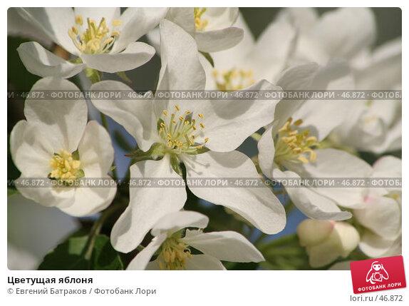 Купить «Цветущая яблоня», фото № 46872, снято 18 мая 2007 г. (c) Евгений Батраков / Фотобанк Лори