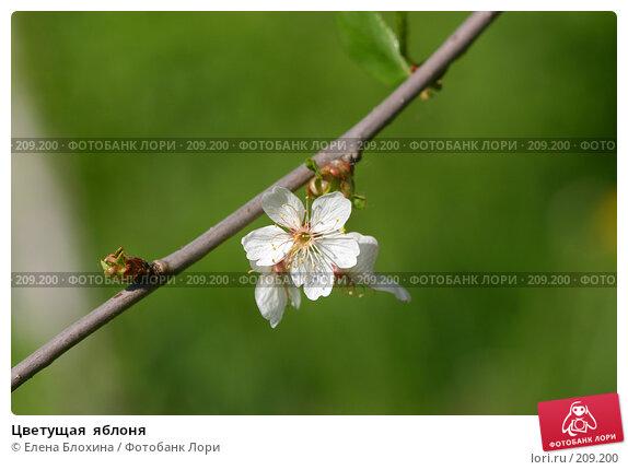 Цветущая  яблоня, фото № 209200, снято 20 мая 2007 г. (c) Елена Блохина / Фотобанк Лори