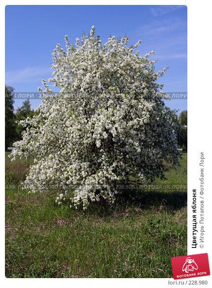 Цветущая яблоня, фото № 228980, снято 9 января 2006 г. (c) Игорь Потапов / Фотобанк Лори