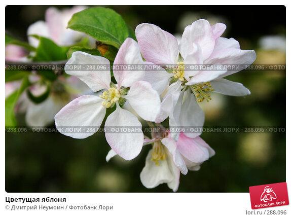 Цветущая яблоня, эксклюзивное фото № 288096, снято 22 апреля 2008 г. (c) Дмитрий Неумоин / Фотобанк Лори