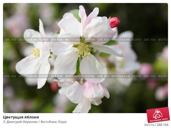 Цветущая яблоня, эксклюзивное фото № 288104, снято 22 апреля 2008 г. (c) Дмитрий Неумоин / Фотобанк Лори