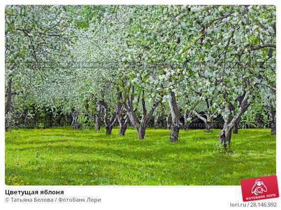Купить «Цветущая яблоня», фото № 28146992, снято 26 мая 2017 г. (c) Татьяна Белова / Фотобанк Лори