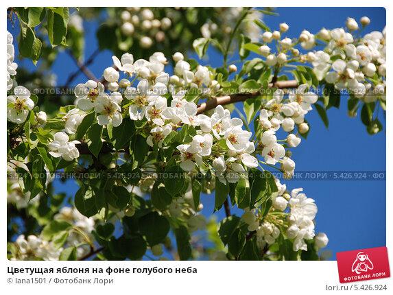 Купить «Цветущая яблоня на фоне голубого неба», эксклюзивное фото № 5426924, снято 11 мая 2010 г. (c) lana1501 / Фотобанк Лори