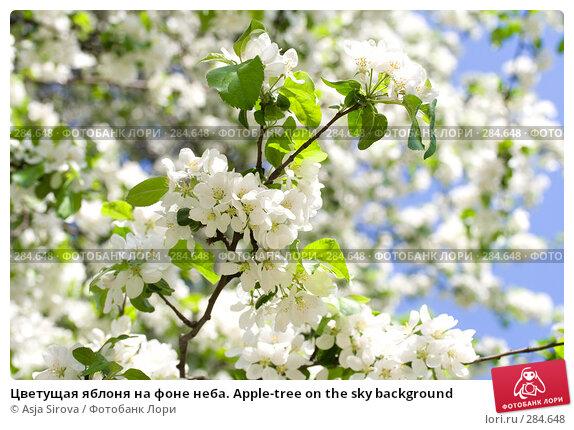 Цветущая яблоня на фоне неба. Apple-tree on the sky background, фото № 284648, снято 11 мая 2008 г. (c) Asja Sirova / Фотобанк Лори