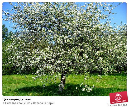 Цветущее дерево, фото № 162896, снято 23 мая 2007 г. (c) Наталья Ярошенко / Фотобанк Лори