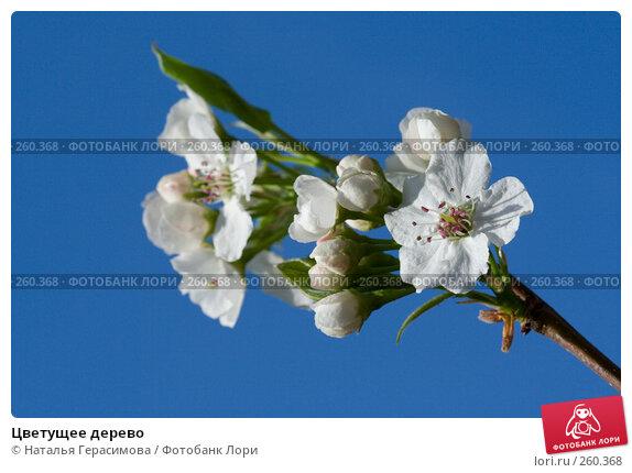 Цветущее дерево, фото № 260368, снято 23 апреля 2008 г. (c) Наталья Герасимова / Фотобанк Лори