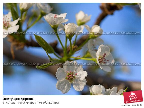 Цветущее дерево, фото № 262080, снято 23 апреля 2008 г. (c) Наталья Герасимова / Фотобанк Лори