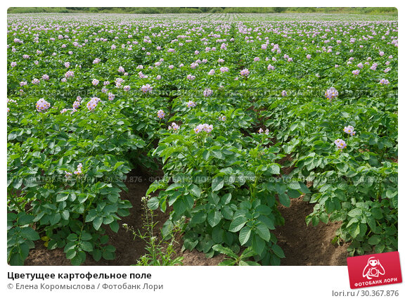 Купить «Цветущее картофельное поле», фото № 30367876, снято 14 июля 2018 г. (c) Елена Коромыслова / Фотобанк Лори