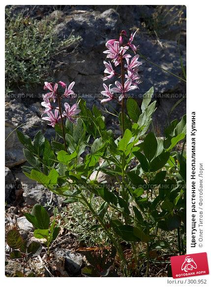 Цветущее растение Неопалимая Купина, фото № 300952, снято 21 мая 2008 г. (c) Олег Титов / Фотобанк Лори
