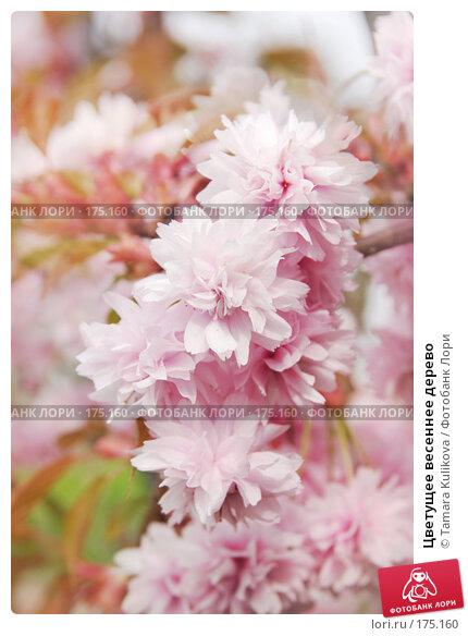 Цветущее весеннее дерево, фото № 175160, снято 21 апреля 2007 г. (c) Tamara Kulikova / Фотобанк Лори