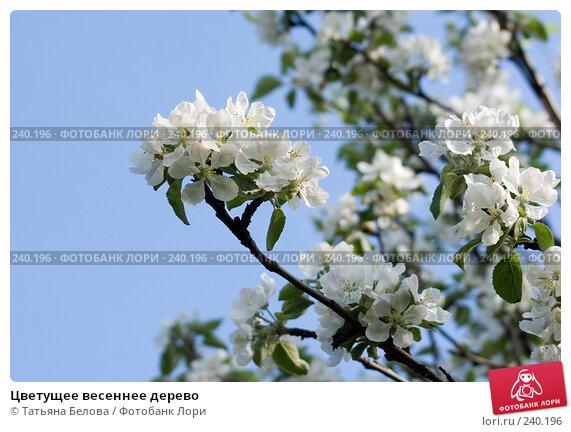 Купить «Цветущее весеннее дерево», эксклюзивное фото № 240196, снято 19 мая 2007 г. (c) Татьяна Белова / Фотобанк Лори