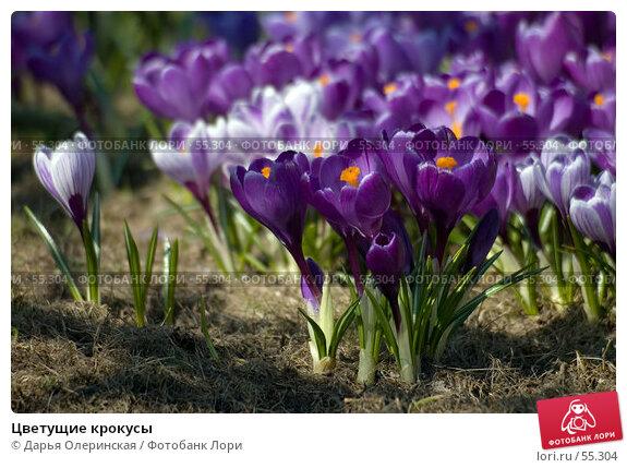 Цветущие крокусы, фото № 55304, снято 13 апреля 2006 г. (c) Дарья Олеринская / Фотобанк Лори