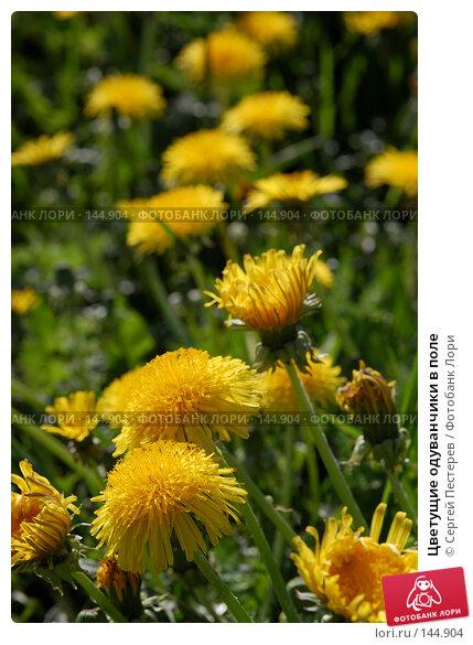 Купить «Цветущие одуванчики в поле», фото № 144904, снято 20 мая 2007 г. (c) Сергей Пестерев / Фотобанк Лори