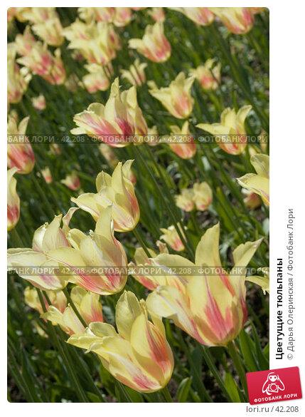 Цветущие тюльпаны, фото № 42208, снято 28 мая 2005 г. (c) Дарья Олеринская / Фотобанк Лори