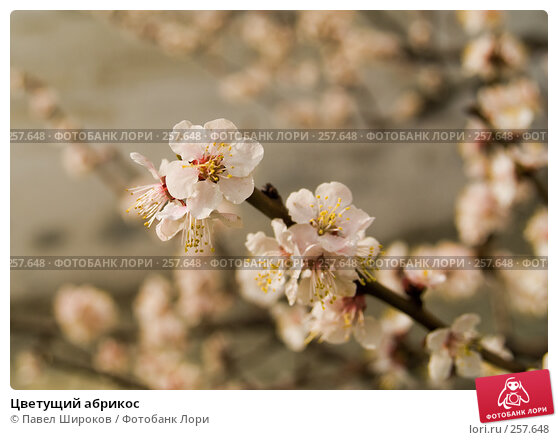 Цветущий абрикос, эксклюзивное фото № 257648, снято 19 апреля 2008 г. (c) Павел Широков / Фотобанк Лори
