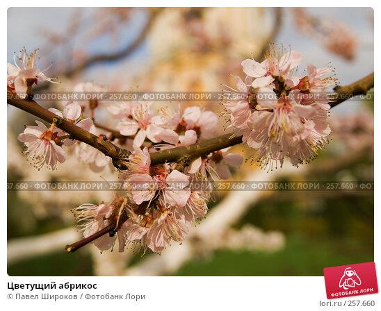Цветущий абрикос, эксклюзивное фото № 257660, снято 19 апреля 2008 г. (c) Павел Широков / Фотобанк Лори