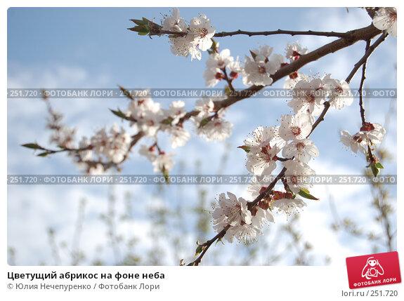 Цветущий абрикос на фоне неба, фото № 251720, снято 11 апреля 2008 г. (c) Юлия Нечепуренко / Фотобанк Лори
