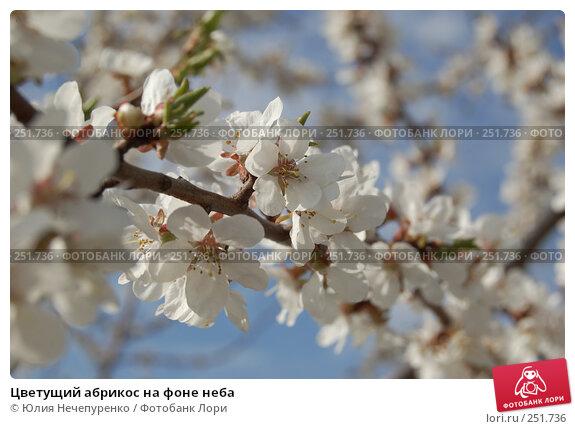 Купить «Цветущий абрикос на фоне неба», фото № 251736, снято 11 апреля 2008 г. (c) Юлия Нечепуренко / Фотобанк Лори
