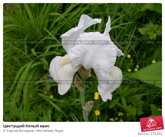 Купить «Цветущий белый ирис», фото № 172812, снято 11 июня 2005 г. (c) Сергей Бочаров / Фотобанк Лори