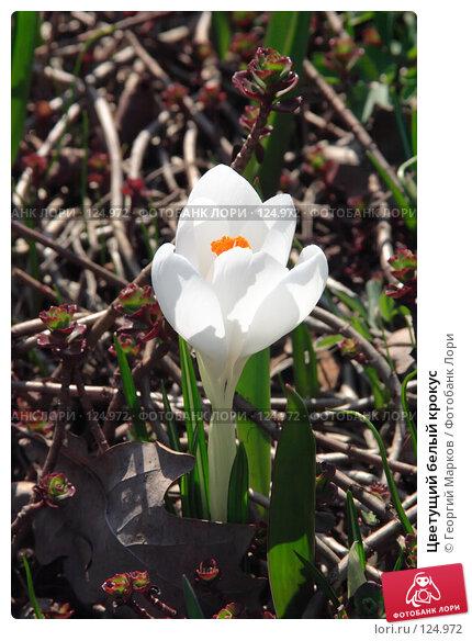 Цветущий белый крокус, фото № 124972, снято 29 апреля 2006 г. (c) Георгий Марков / Фотобанк Лори