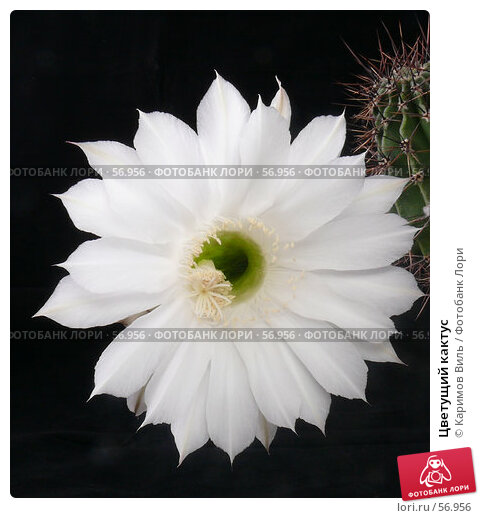 Купить «Цветущий кактус», фото № 56956, снято 30 июня 2007 г. (c) Каримов Виль / Фотобанк Лори