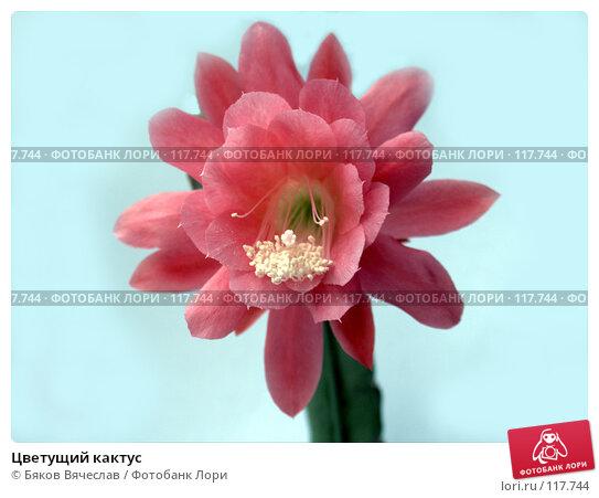 Купить «Цветущий кактус», фото № 117744, снято 21 марта 2018 г. (c) Бяков Вячеслав / Фотобанк Лори
