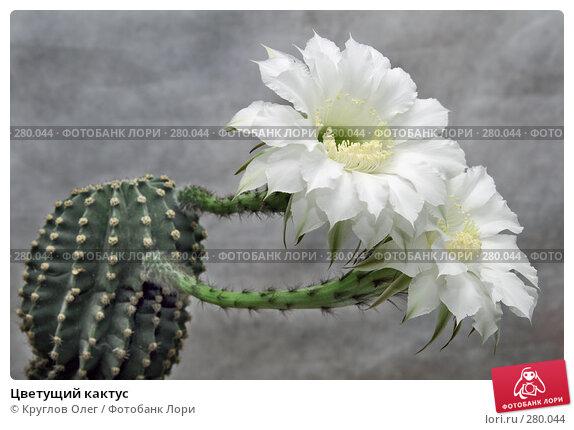 Цветущий кактус, фото № 280044, снято 7 мая 2008 г. (c) Круглов Олег / Фотобанк Лори