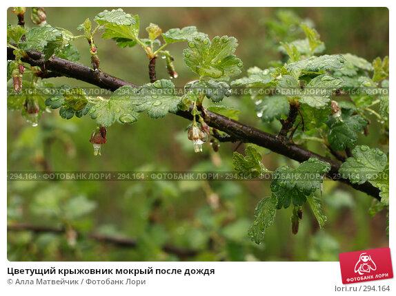 Купить «Цветущий крыжовник мокрый после дождя», фото № 294164, снято 18 мая 2008 г. (c) Алла Матвейчик / Фотобанк Лори